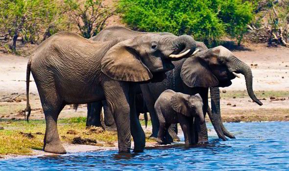 Elephants in Botswana - Express
