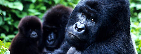 mountain_gorilla_48700_2_352629